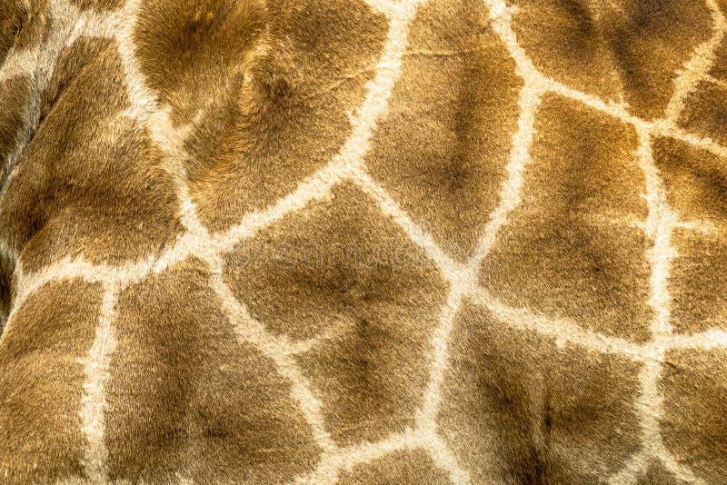 Cierre del modelo de la jirafa para arriba foto de archivo