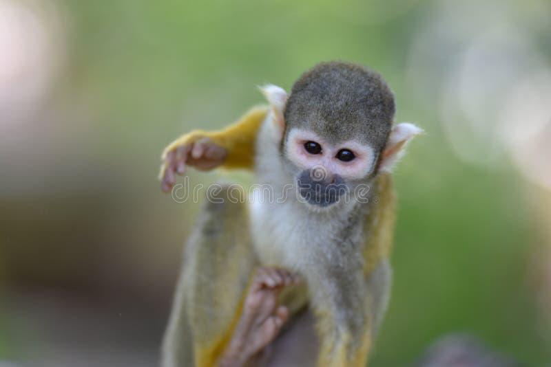 Cierre del mono de ardilla para arriba fotos de archivo