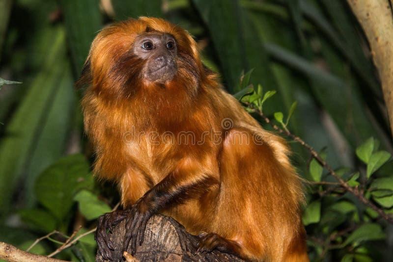 Cierre del mono del capucin de Brown para arriba imagen de archivo libre de regalías