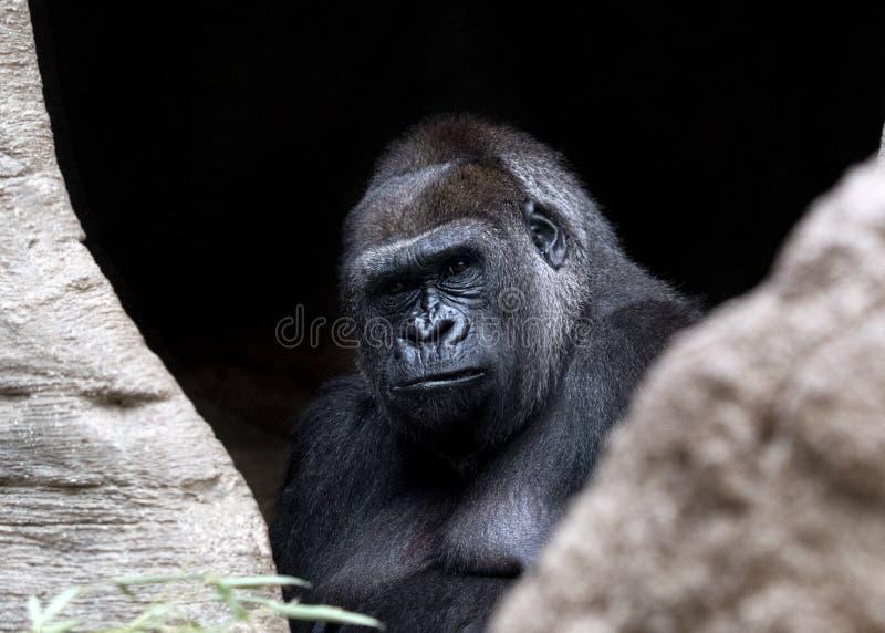 Cierre del mono del mono del gorila encima del retrato imagen de archivo