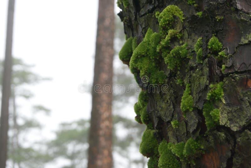 Cierre del musgo en el pino imágenes de archivo libres de regalías