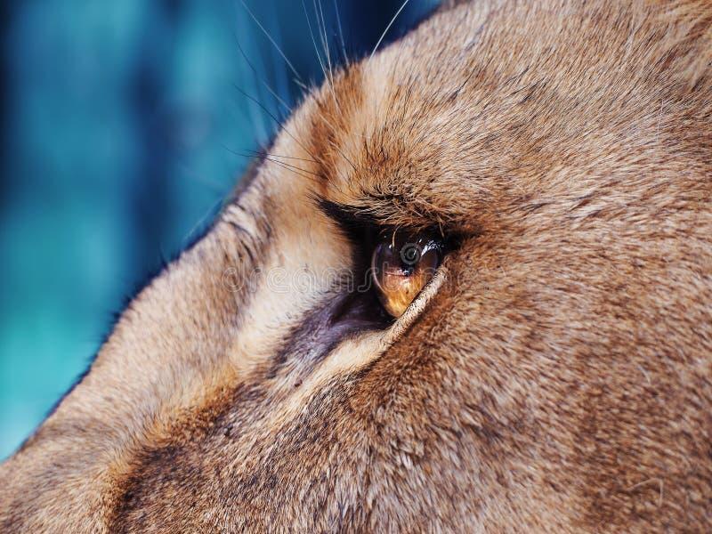 Cierre del ojo del ` s del león para arriba imagen de archivo libre de regalías