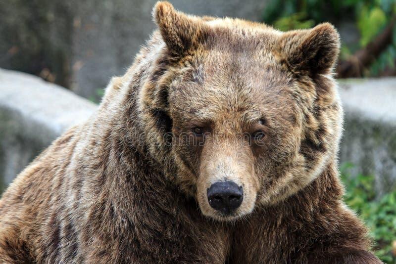 Cierre del oso de Brown para arriba foto de archivo