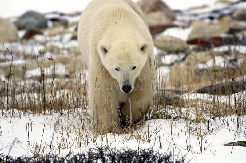 Cierre del oso polar para arriba imágenes de archivo libres de regalías