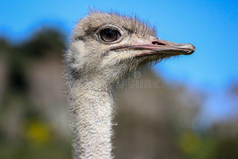 Cierre del pájaro de la avestruz encima del tiro imágenes de archivo libres de regalías