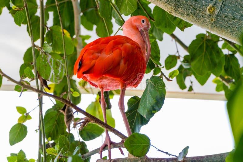 Cierre del pájaro para arriba, escarlata Ibis, ave zancuda tropical del ruber de Eudocimus imágenes de archivo libres de regalías