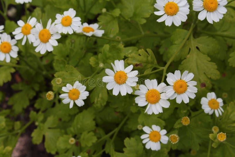 Cierre del parthenium del crisantemo de la hierba de Feverfew para arriba desde arriba imágenes de archivo libres de regalías