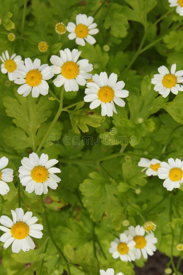 Cierre del parthenium del crisantemo de la hierba de Feverfew para arriba desde arriba imagenes de archivo