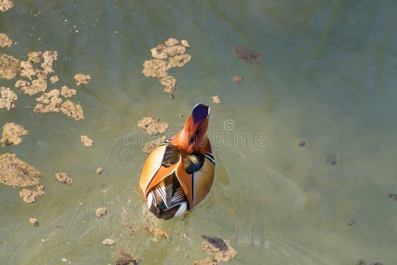 Cierre del pato de mandarín para arriba del río de Sile, Italia foto de archivo