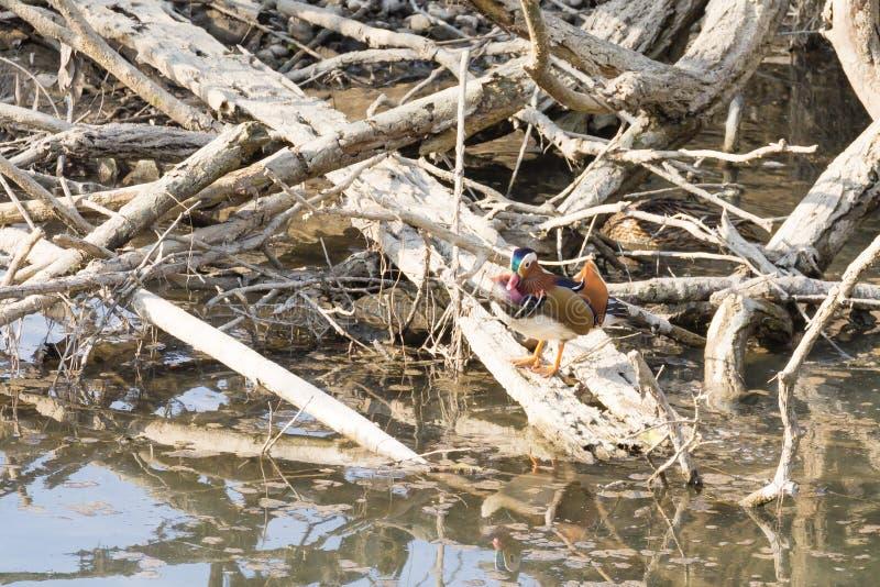 Cierre del pato de mandarín para arriba del río de Sile, Italia fotos de archivo libres de regalías