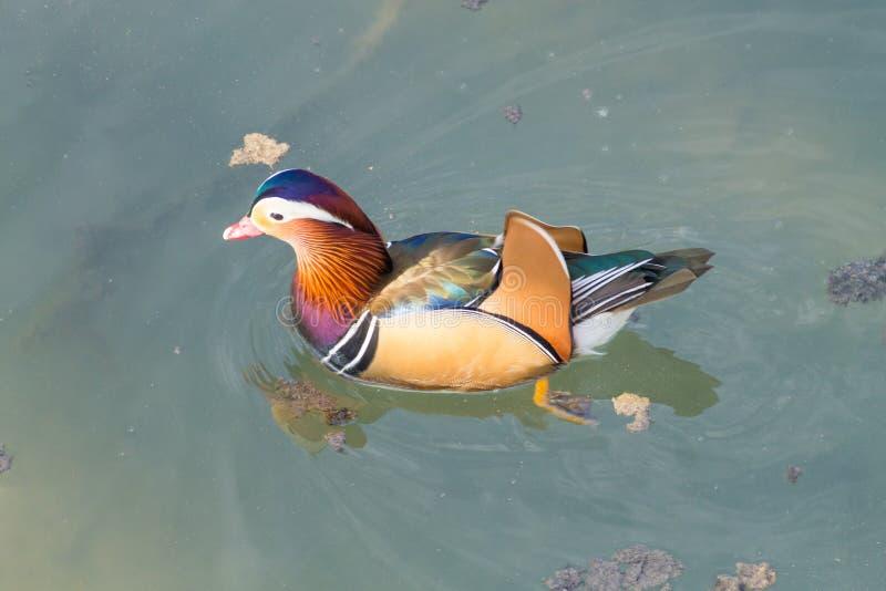 Cierre del pato de mandarín para arriba del río de Sile, Italia imágenes de archivo libres de regalías
