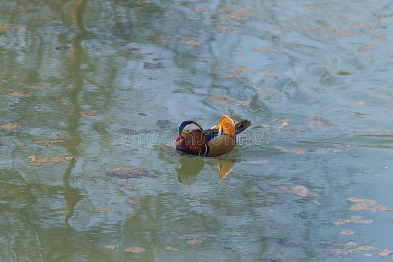 Cierre del pato de mandarín para arriba del río de Sile, Italia fotografía de archivo