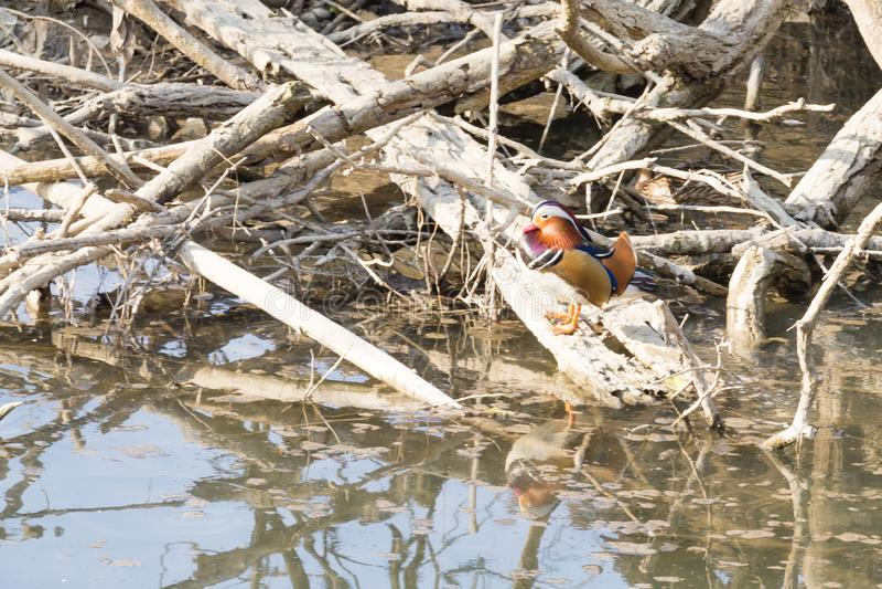 Cierre del pato de mandarín para arriba del río de Sile, Italia imagen de archivo