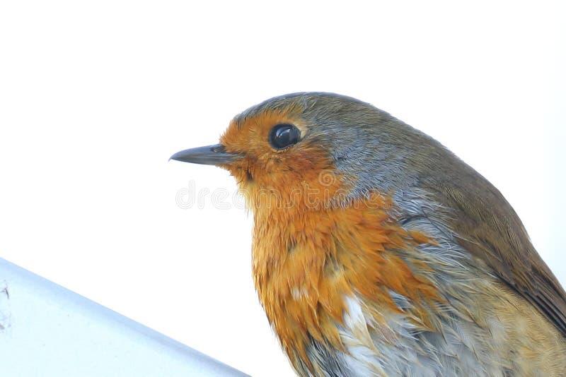 Cierre del pecho de Robin Red para arriba imagenes de archivo