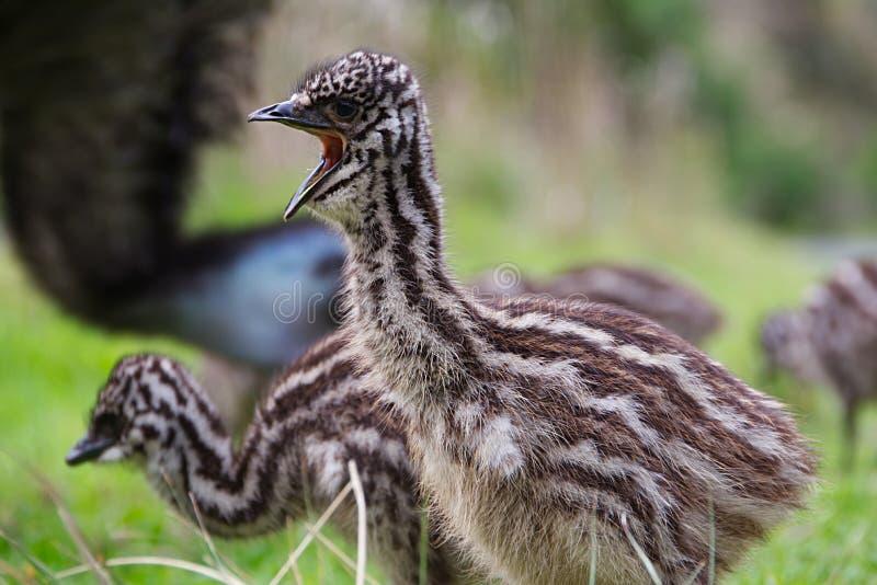 Cierre del polluelo del emú del bebé encima de la boca abierta foto de archivo libre de regalías