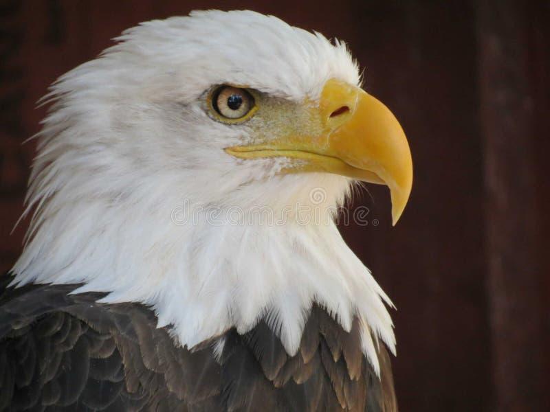 Cierre del retrato del águila calva para arriba imagen de archivo