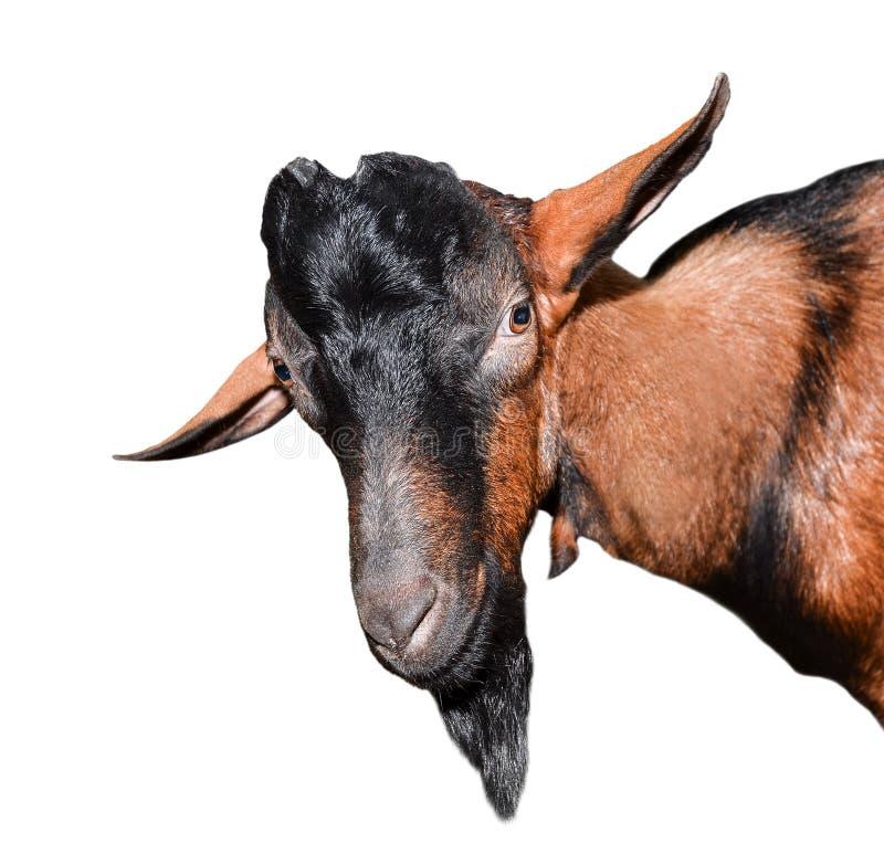 Cierre del retrato de la cabra para arriba Cabra marrón hermosa, divertida, joven aislada en el fondo blanco Animales del campo C imagen de archivo