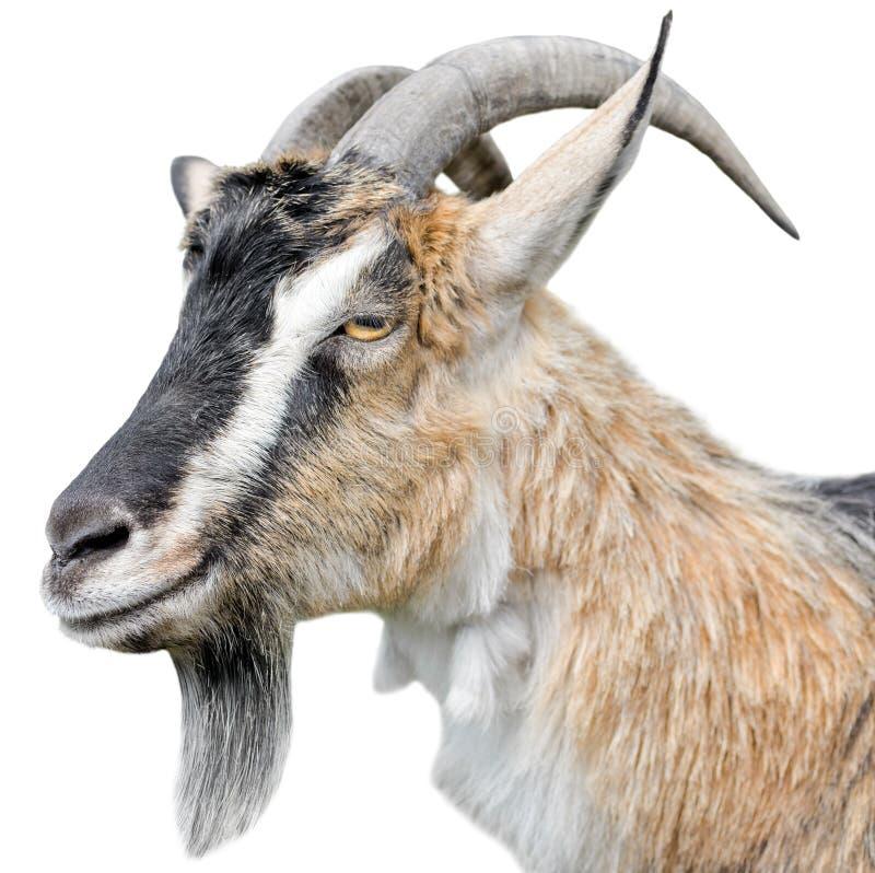 Cierre del retrato de la cabra para arriba Cabra marrón hermosa, linda, joven en el fondo blanco Animales del campo imagen de archivo libre de regalías