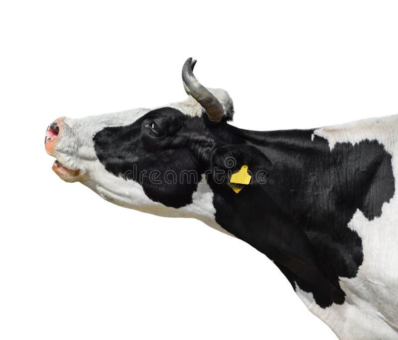 Cierre del retrato de la vaca para arriba aislado en blanco Cabeza manchada blanco y negro linda divertida de la vaca aislada en  imagen de archivo