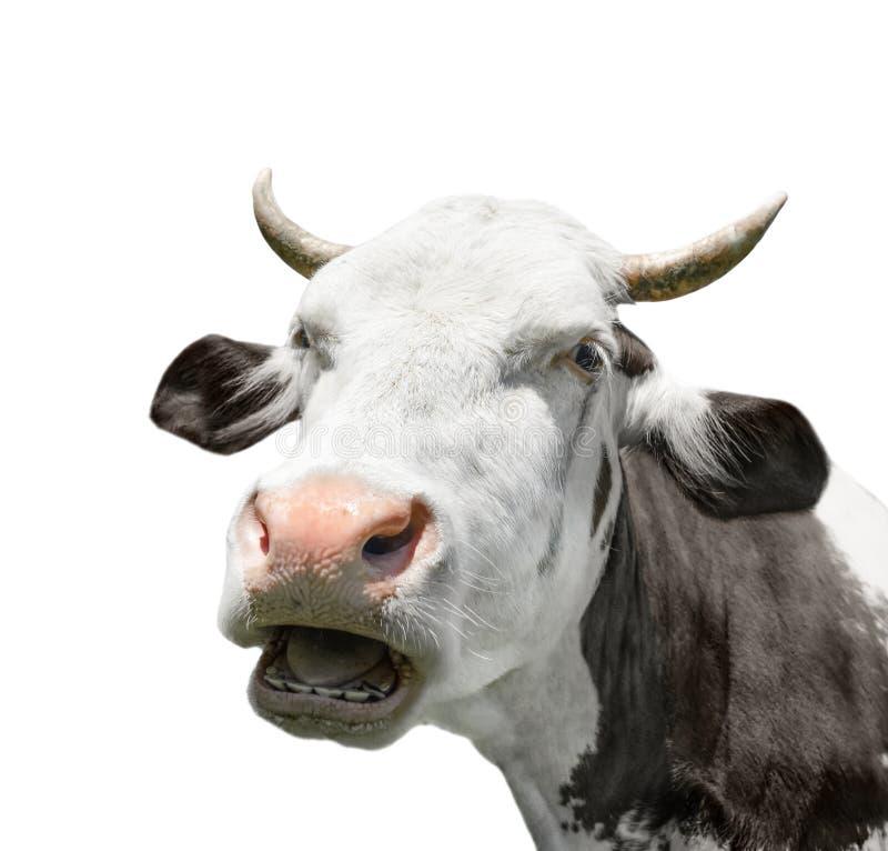cierre del retrato de la vaca para arriba Vaca blanco y negro que habla divertida y linda aislada en blanco Animales del campo imagen de archivo