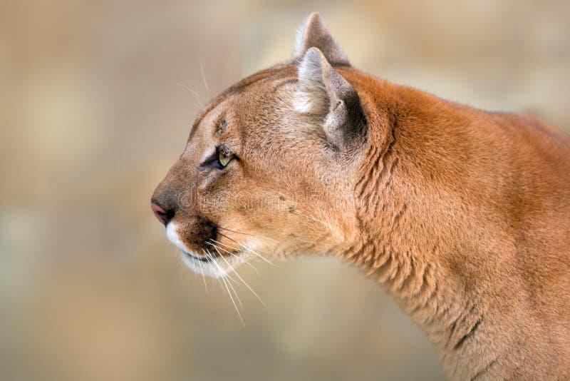 Cierre del retrato del puma para arriba imagen de archivo libre de regalías