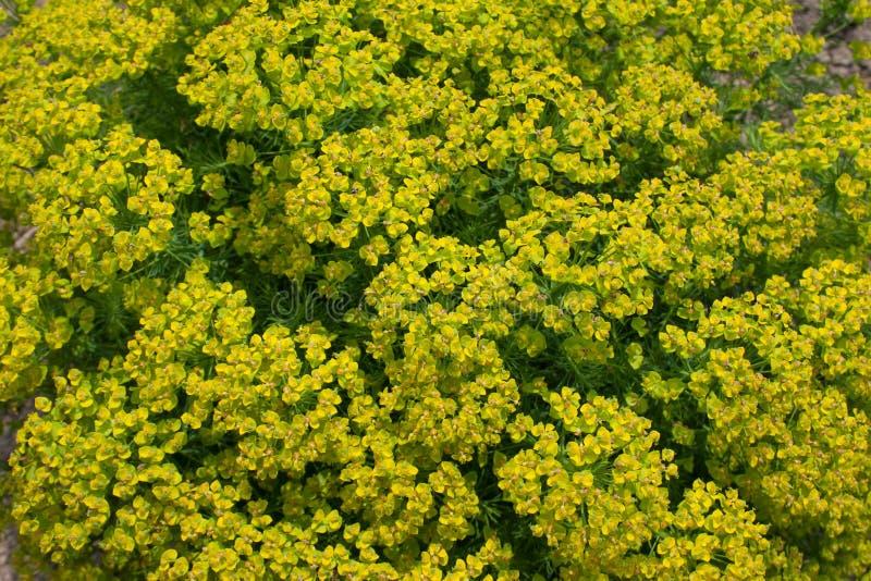 Cierre del spurge del ciprés de la planta del fondo natural para arriba foto de archivo libre de regalías