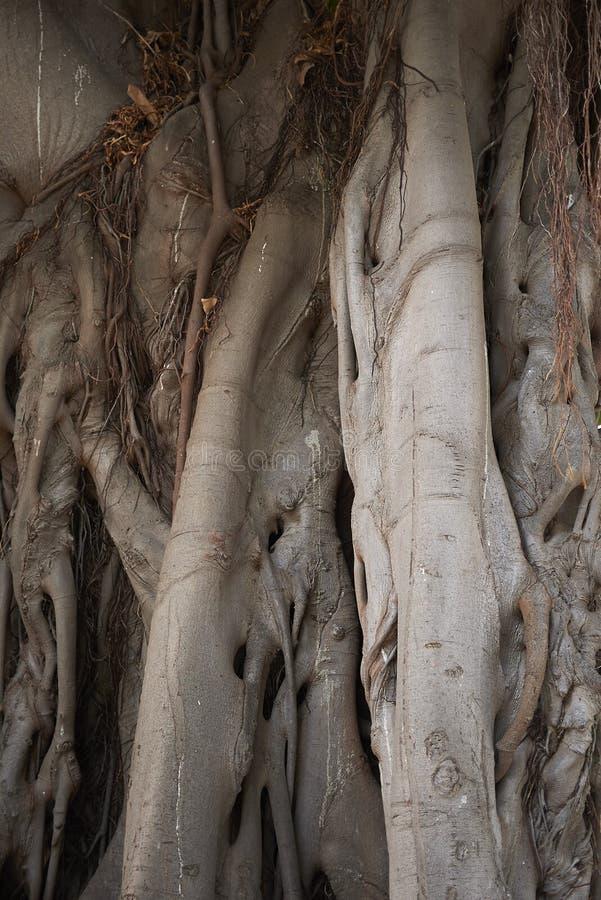 Cierre del tronco del macrophylla de los ficus para arriba imágenes de archivo libres de regalías