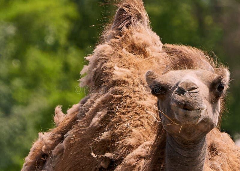 Cierre divertido de la cara del camello del dromedario para arriba foto de archivo
