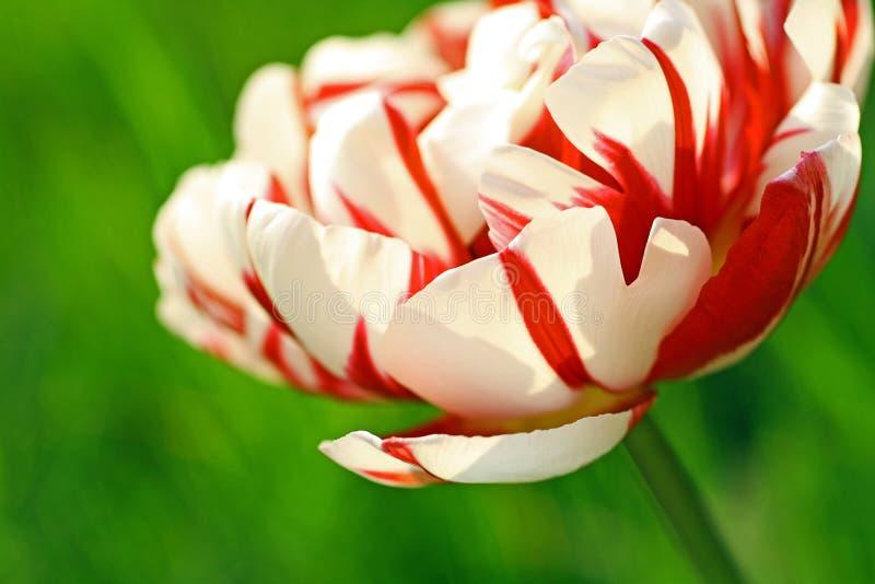 Cierre doble hermoso del tulipán para arriba fotografía de archivo libre de regalías