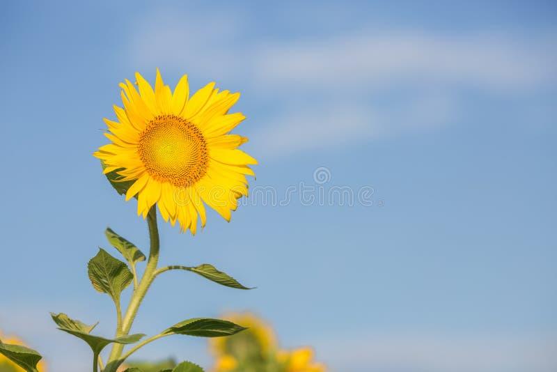 Cierre encima de alborotos del girasol en el viento en cielo azul como fondo fotos de archivo libres de regalías