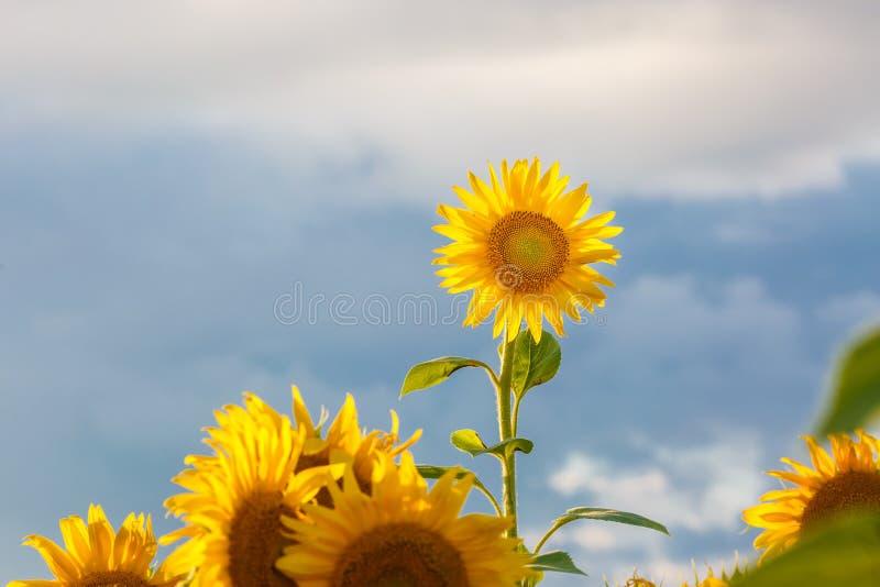 Cierre encima de alborotos del girasol en el viento en cielo azul como fondo foto de archivo