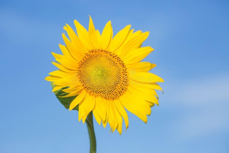 Cierre encima de alborotos del girasol en el viento en cielo azul como fondo fotos de archivo