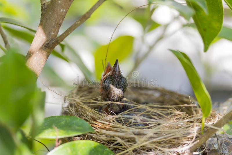 Cierre encima de la boca abierta hambrienta del grito del pájaro de bebé en jerarquía en árbol fotografía de archivo libre de regalías