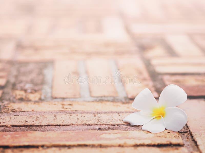 Cierre encima de la caída blanca de la flor del plumeria en el sendero del ladrillo en el jardín imágenes de archivo libres de regalías