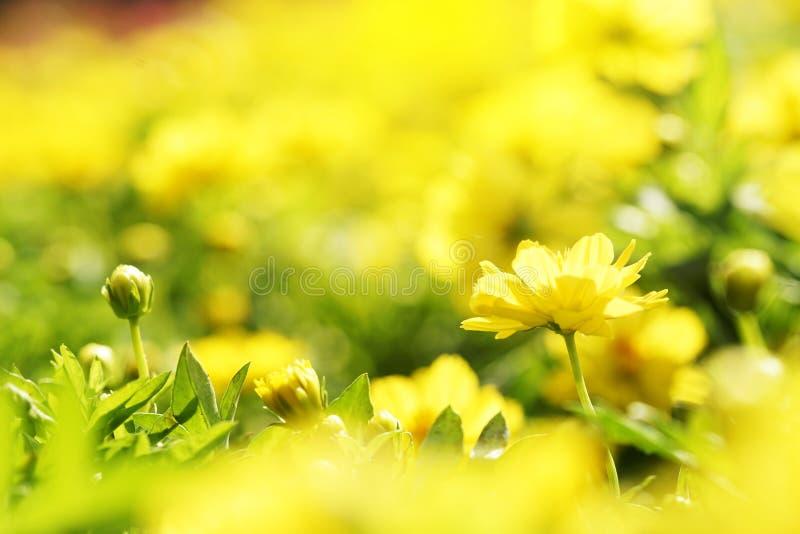Cierre encima de la flor amarilla del sulphureus del cosmos de la vista lateral en jardín con el fondo borroso foto de archivo