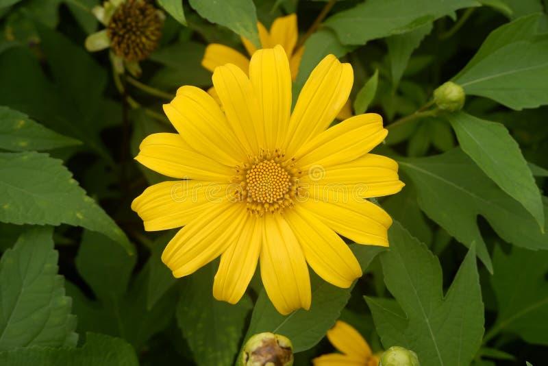 Cierre encima de la flor amarilla hermosa en jardín, visión superior fotografía de archivo