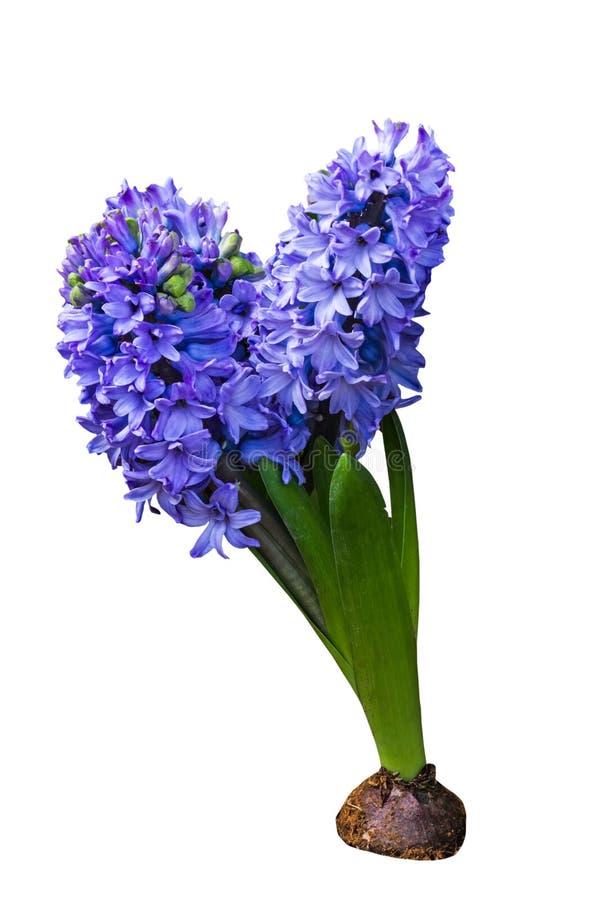 Cierre encima de la flor azul del jacinto aislada en el fondo blanco Ahorrado con la trayectoria de recortes fotografía de archivo