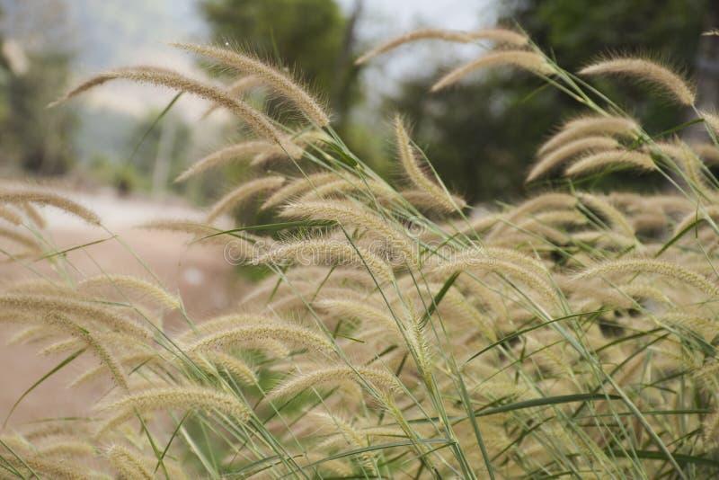 Cierre encima de la flor de la hierba del Poaceae y del vidrio verde con el fondo de la falta de definición imágenes de archivo libres de regalías
