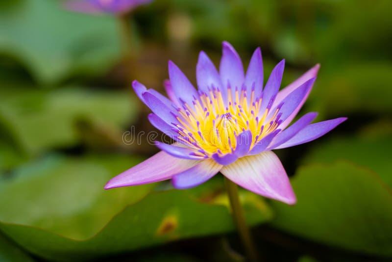 Cierre encima de la flor de loto púrpura que florece con polen amarillo y hojas verdes en la charca Planta acuática para la decor foto de archivo