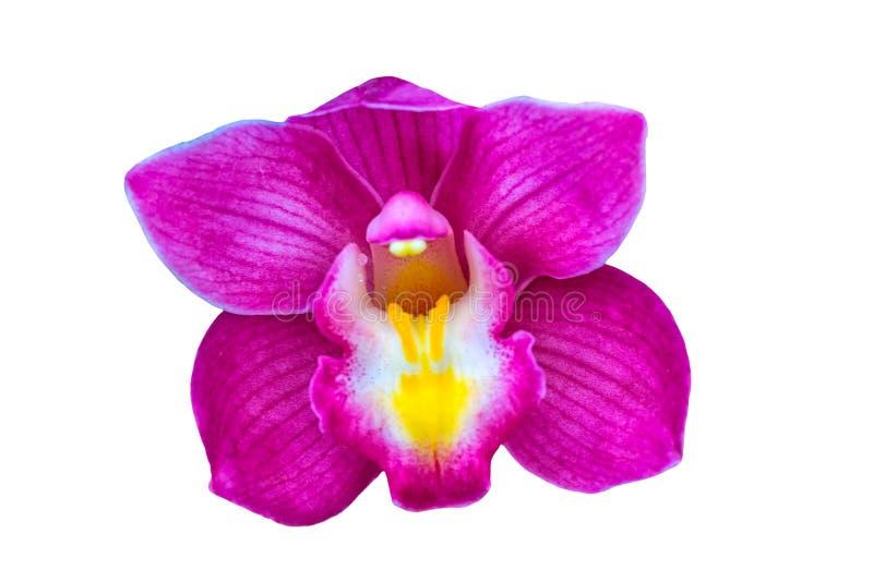 Cierre encima de la flor de la orqu?dea del Cymbidium aislada en el fondo blanco Ahorrado con la trayectoria de recortes imagen de archivo libre de regalías