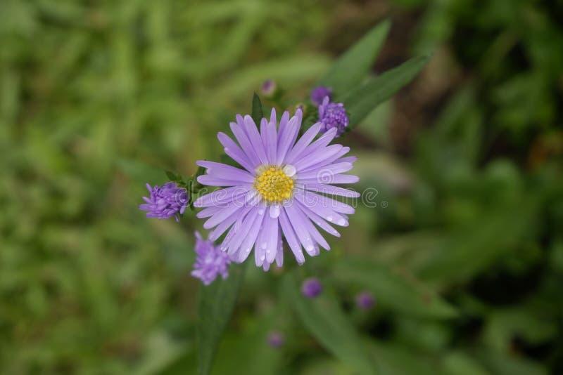 Cierre encima de la flor púrpura mojada, visión superior fotos de archivo libres de regalías