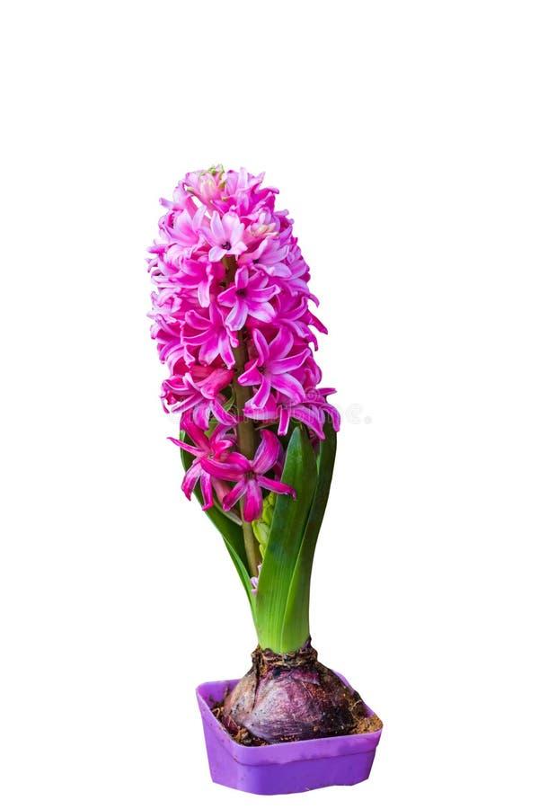 Cierre encima de la flor rosada del jacinto aislada en el fondo blanco Ahorrado con la trayectoria de recortes imagen de archivo