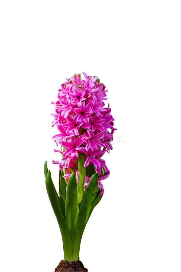 Cierre encima de la flor rosada del jacinto aislada en el fondo blanco Ahorrado con la trayectoria de recortes fotografía de archivo libre de regalías