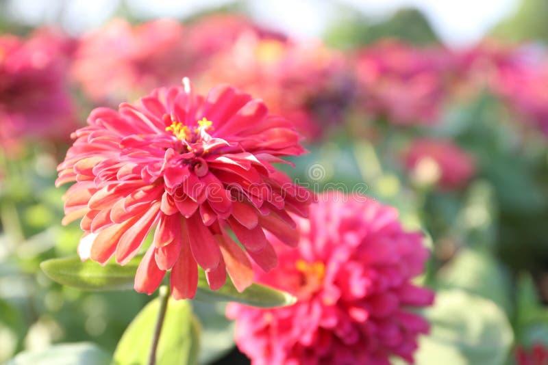 Cierre encima de la flor rosada hermosa que florece por la tarde foto de archivo libre de regalías