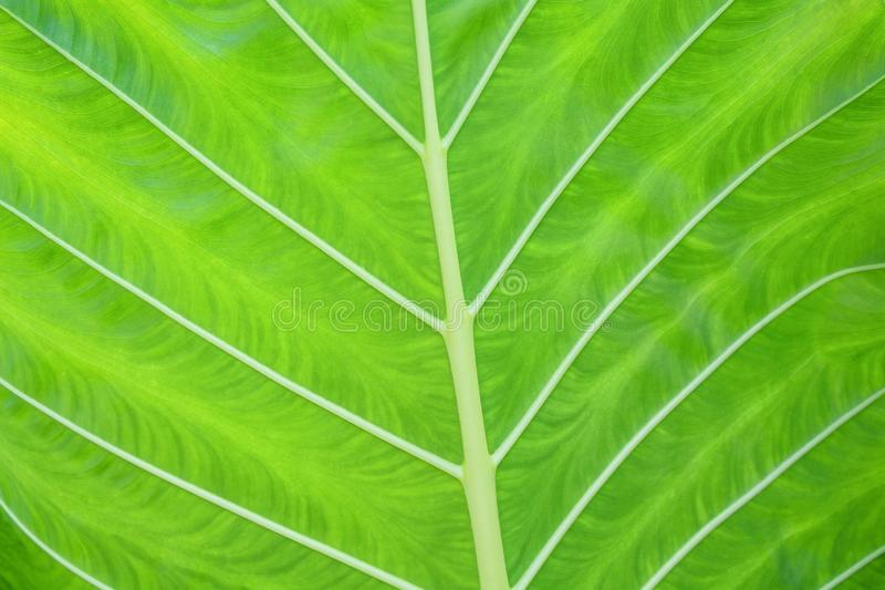 Cierre encima de la hoja verde hermosa con la línea blanca textura de los modelos, n foto de archivo libre de regalías