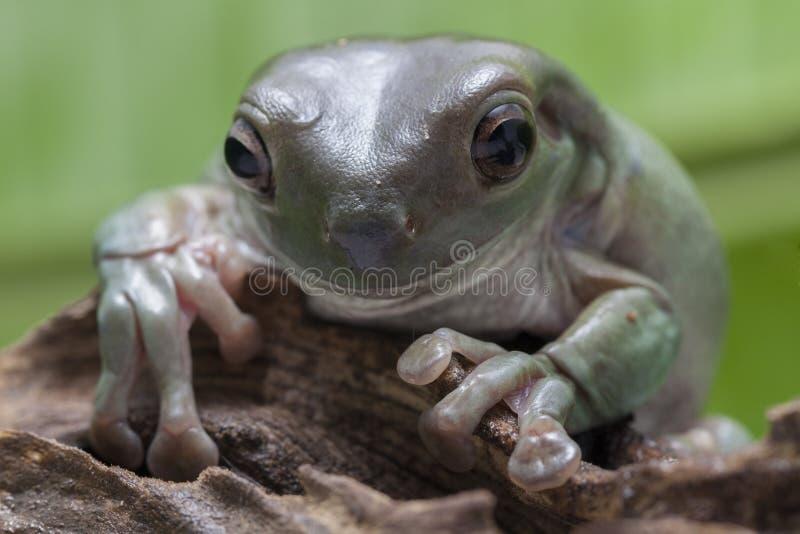 Cierre encima de la rana arbórea regordeta/de la rana arbórea del blanco foto de archivo libre de regalías