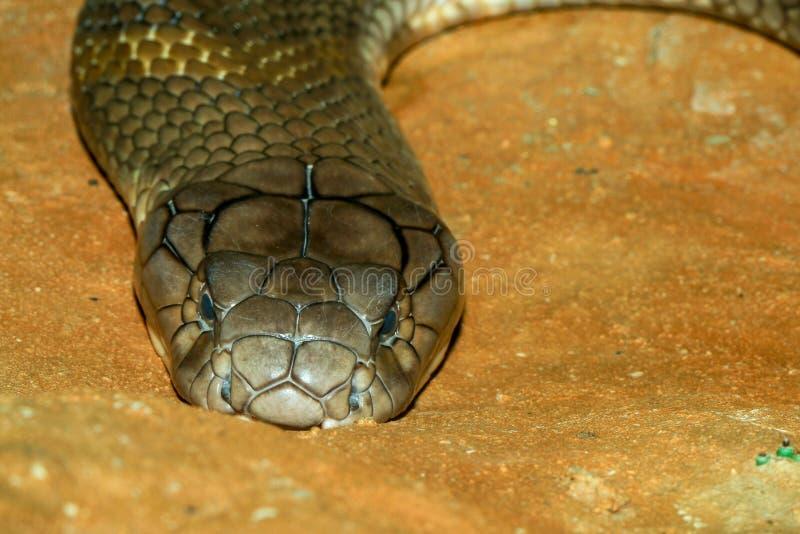 Cierre encima de la serpiente grande de la cobra real en Tailandia imagen de archivo libre de regalías