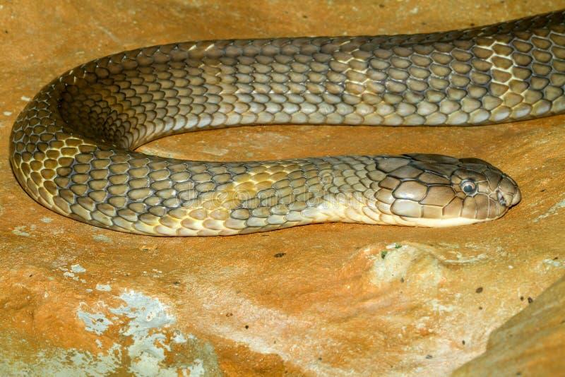 Cierre encima de la serpiente grande de la cobra real en Tailandia fotografía de archivo libre de regalías