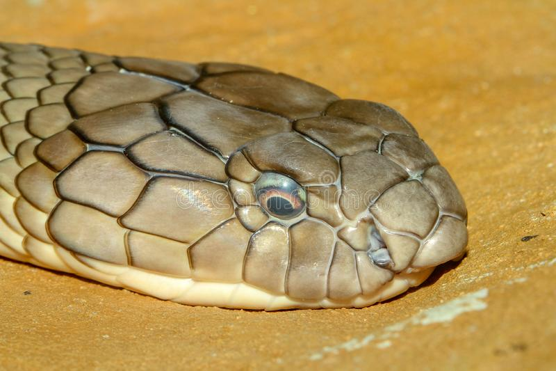 Cierre encima de la serpiente principal de la cobra real en Tailandia foto de archivo libre de regalías