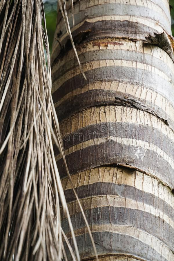 Cierre encima de la textura del tronco y de la hoja de árbol de coco de la palmera foto de archivo libre de regalías